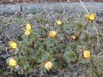 南西角地に福寿草が咲きました